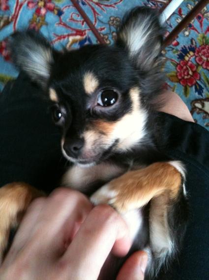 Black and Tan Longhair Chihuahua